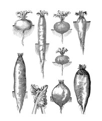 Illustration of vegetables. Beets