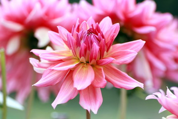 花畑のピンクのダリア