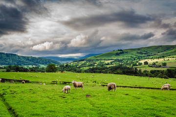 Sheeps grazing on pasture in District Lake, England, Europe