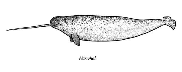 Narwhal illustration, drawing, engraving, ink, line art, vector