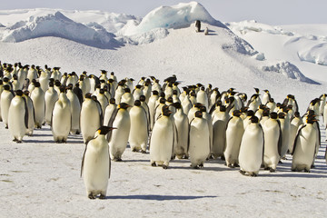 Emperor penguins(aptenodytes forsteri)with Chicks in a colony in the Davis sea,Antarctica