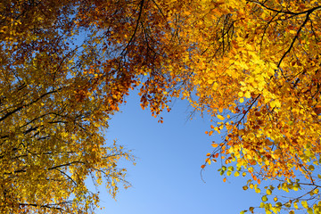 Trees in autumn on a sunny day. Colorful red, orange and yellow leaves against a blue sky.