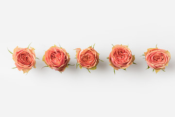 pink roses buds