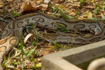 photo of a Boa constrictor snake resting in the shade