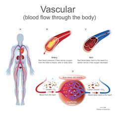 Vascular blood flow through the body.
