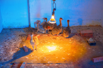 small ostriches in an incubator
