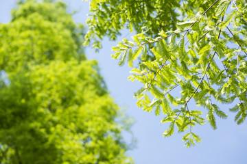 青空の下のメタセコイアの緑の葉