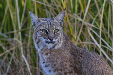 Bobcat with regal look at Sweetwater Wetlands in Tucson