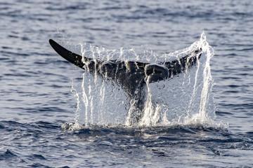 Rare Goose Beaked whale dolphin Ziphius cavirostris