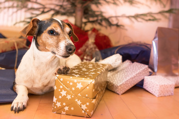 cute christmas dog under the christmas tree and different christmas presents - Jack Russell 10 years old