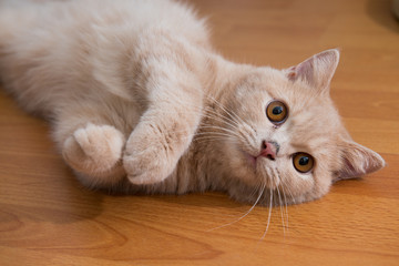 Close up of cute cat lying on wooden floor.