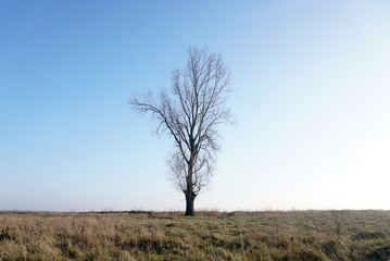 lonely bare tree and dry grass on a clear blue sky background