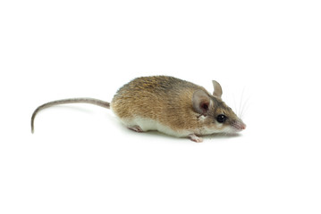 light yellow spiny mouse with a gray back on a white background lies sideways to the viewer