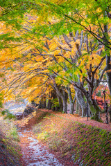 the beautiful autumn color of Japan maple leaves in Maple corridor (Momiji Kairo) at autumn season,Kawaguchiko, Fujiyoshida, Yamanashi, Japan
