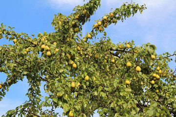 Ripe pears on the branch.