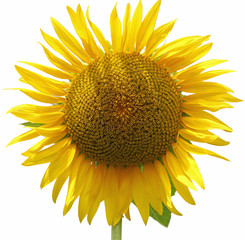 single yellow big sunflower on white background