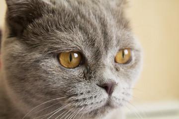 home Scottish cat