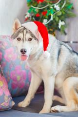 Beautiful cute smiling Siberian Husky dog