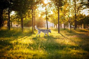Dog. Siberian Husky. Autumn.