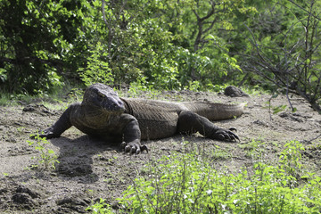 A Komodo Dragon front the front and side, basking in the sun. Taken on safari in Indoesia's Komodo Islands
