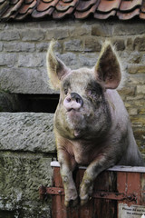 A farmyard pig standing up and leaning legs over the gate. Looks almost like the human farmer leaning on a fence