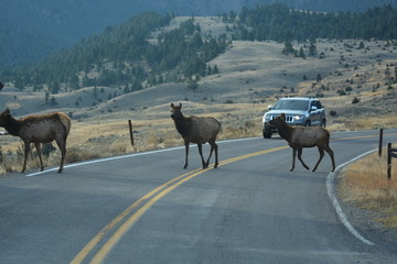 Middle of the road ... yellow stripes and elk