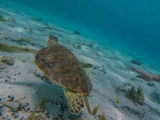Tortues vertes dans les eaux des Tobago Cays