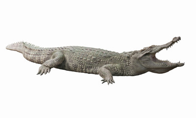 Albino Crocodile / Skin is white , nearly extinct , found in Southeast Asia