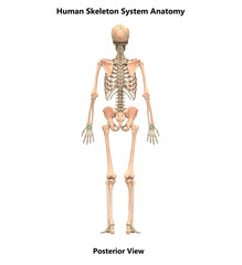 Human Skeleton System Anatomy (Posterior View)