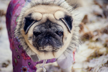dog breed pug for a walk