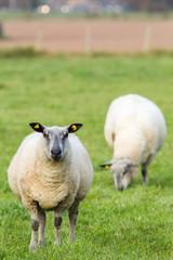sheeps on a meadow