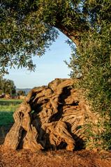 Puglia Ulivo Secolare