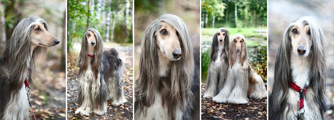 Luxury Afghan hounds, dogs. Collage, set, 5 photos. Beauty salon, grooming, dog care, hairstyles for dogs, dog stylist
