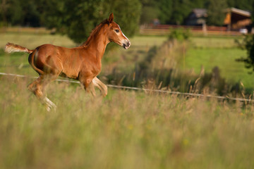 .Foal in the evening light on the pasture