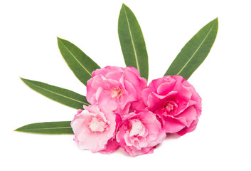 pink oleander flowers isolated