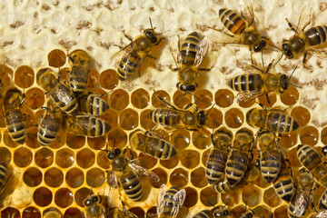 Honey, bee, honeybee, insect, entomology, beehive, colony, apiary, comb, honeycomb, cell, close, wax, food, apiary, life, health, healthy eating, alternative medicine, light, background, macro, image,