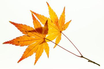 Beautiful autumn maple leaves on white light box