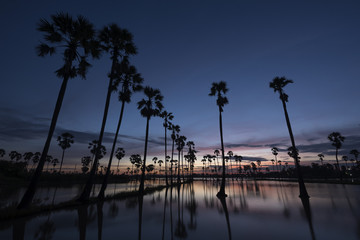 Sunrise and field of sugar palm trees