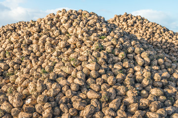 Large heap with many harvested sugar beets