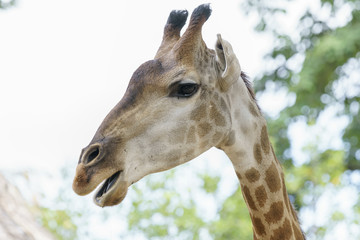 Portrait of a giraffe with long neck and funny head helps the animal find food on the tall branches to help them survive in the natural world.