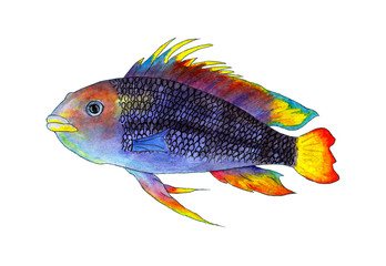 Tropical fish apistogramma