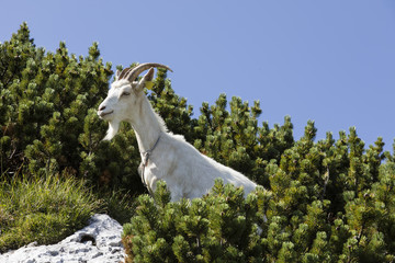 Wall Mural - Goat stands between young pines in the alps of Slovenia