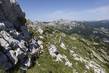 Wall Mural - Goat herd climbs on a rock in the alps of Slovenia