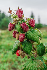 organic ripe red raspberries on the bush, cultivation, garden,food