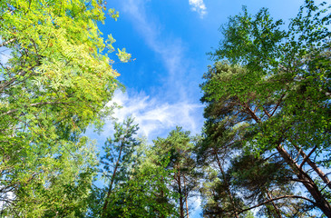 Green trees in the summer forest against a blue sky background