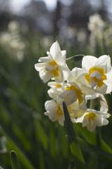 Photo sur Plexiglas Narcisse 水仙の季節
