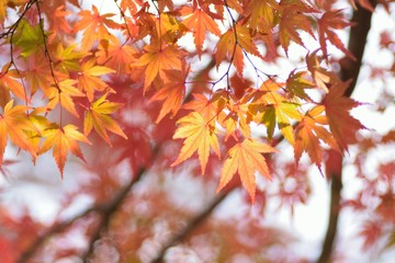 Nature background of changing color Japanese Autumn Maple leaves in sunshine