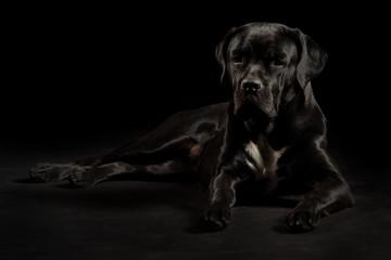Portrait of a Cane Corso dog breed on a black background. Italian mastiff puppy.