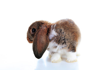 Agouti rabbit lop on isolated white studio background. NHD young baby bunny. Cute lop eared pet rabbit. Animal photos.