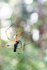 Big spider feeds insects captured on web.